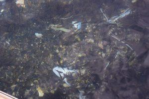 アオイマリーナ桟橋に居るアジの写真