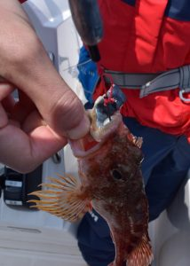 サバの切り身で釣れたカサゴ