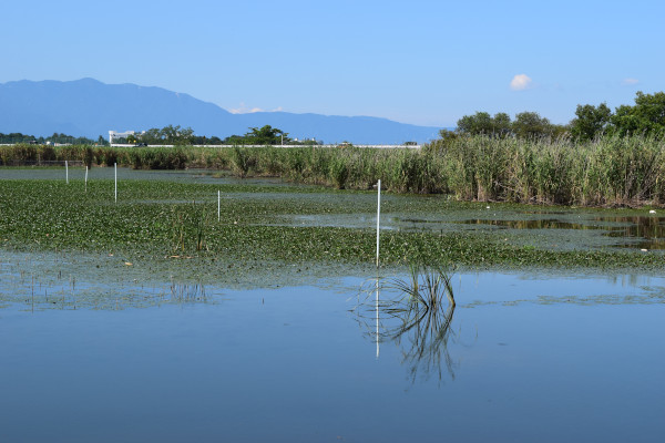 法竜川の水草
